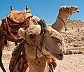 Camel in Petra3.jpg