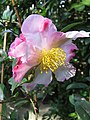 Camellia sasanqua Weroona St Kilda 28-4-2020.jpg