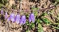 Campanula rapunculoides in Chablais (1).jpg