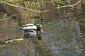 Canard colvert (Anas platyrhynchos) - 5991.jpg