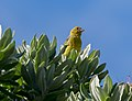 Canario silvestre (Serinus canaria), isla de Terceira, Azores, Portugal, 2020-07-25, DD 89.jpg