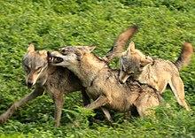 Fotografía de tres lobos corriendo y mordiéndose unos a otros.
