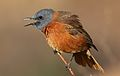 Cape Rock Thrush, Monticola rupestris, at Walter Sisulu National Botanical Garden, Gauteng, South Africa (29375758066).jpg