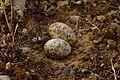 Caprimulgus europaeus eggs.jpg