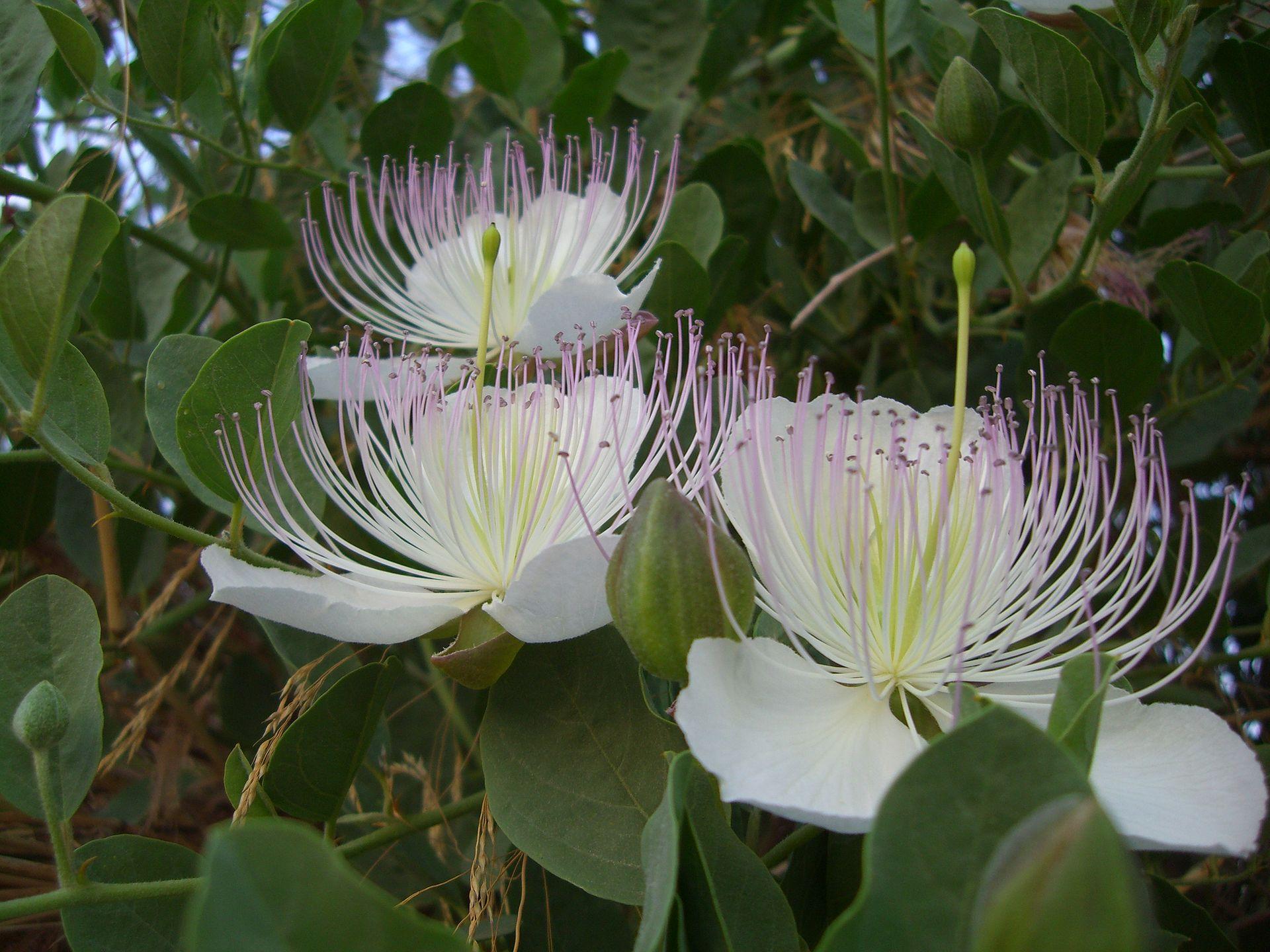 Capparaceae - Wikipedia
