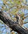 Cardinal Woodpecker (Dendropicos fuscescens) male (32595952482).jpg