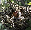 Cardinal babies.jpg