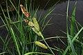 Carex acutiformis inflorescens (40).jpg
