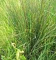 Carex hirta plant (06).jpg