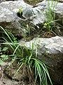 Carex pallescens plant (7).jpg