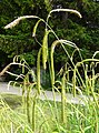 Carex pendula inflorescens (66).jpg