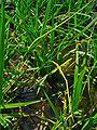 Carex pseudocyperus 001.JPG