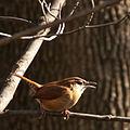 Carolina Wren (Thryothorus ludovicianus) (8358009189).jpg