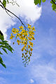 Cassia fistula L. (WilsonKao) 001.jpg