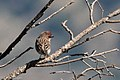 Cassin's Finch (male) Rustler Park Chiricahuas AZ 2017-10-10 14-31-39 (37971561644).jpg