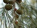 Casuarina equisetifolia (2095673056).jpg
