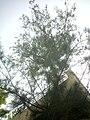 Casuarina equisetifolia (Australian Whistling Pine) at Amravati, Maharashtra1.jpg