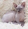 Cat - Sphynx. img 004.jpg
