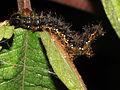 Caterpillar of a Jester (Nymphalid butterfly) from a Papuan mountain rainforest.jpg