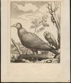 Catharista aura - 1700-1880 - Print - Iconographia Zoologica - Special Collections University of Amsterdam - UBA01 IZ18100128.tif
