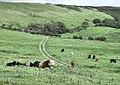 Cattle above Tyneham - geograph.org.uk - 1521745.jpg