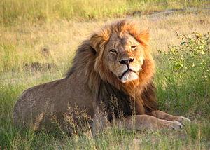 WildCRU - Cecil the lion, WildCRU research project lion