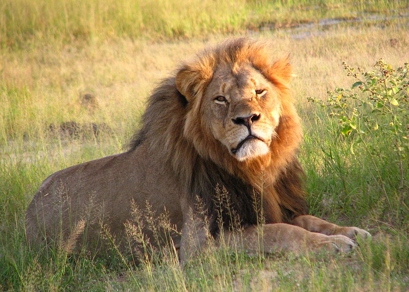 """Cecil the lion at Hwange National Park (4516560206)"" by Daughter#3 - Cecil. Licensed under CC BY-SA 2.0 via Wikimedia Commons - https://commons.wikimedia.org/wiki/File:Cecil_the_lion_at_Hwange_National_Park_(4516560206).jpg#/media/File:Cecil_the_lion_at_Hwange_National_Park_(4516560206).jpg"