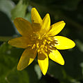 Celandine Flower 3410.jpg