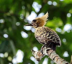Celeus ochraceus - Ochre-backed woodpecker (female).jpg