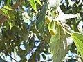 Celtis australis Frutos 2010-9-29 DehesaBoyaldePuertollano.jpg