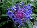 Centaura de las montañas - Centaurea montana (9583677454).jpg