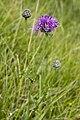 Centaurea scabiosa vallee-de-grace-amiens 80 21072007 1.jpg
