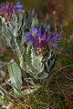Centaurea triumfettii 2.jpg