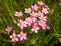 Centaurium erythraea (flowers).jpg