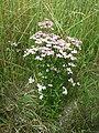 Centaurium erythraea (subsp. erythraea) sl20.jpg