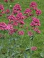 Centranthus ruber Ostrogowiec czerwony 2015 04.jpg
