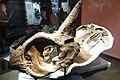Centrosaurus apertus skull Royal Tyrrell 4.jpg