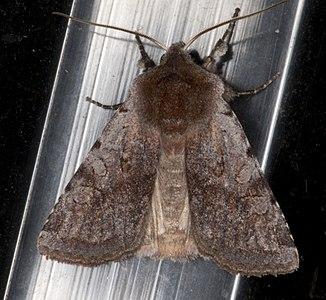 Cerastis rubricosa 01(js) Lodz (Poland).jpg
