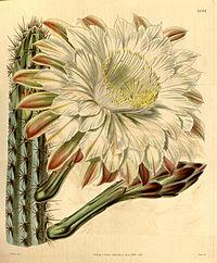 Cereus aethiops (C. caerulescens) Bot. Mag. 68. 3922. 1841