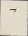 Certhiola trochilea - 1820-1860 - Print - Iconographia Zoologica - Special Collections University of Amsterdam - UBA01 IZ19000437.tif