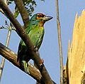 Ceylon Small Barbet MSW.jpg