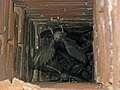 Chaetura pelagica -Perryville, Missouri, USA -chimney-8 (1).jpg