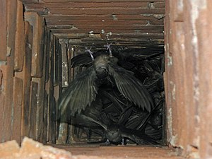 Chimney swift - Chimney swifts, like these in a chimney in Missouri, United States, roost communally when not breeding.