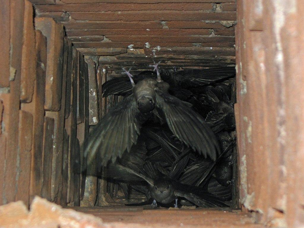 File Chaetura Pelagica -perryville  Missouri  Usa