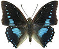 Charaxes imperialis.jpg