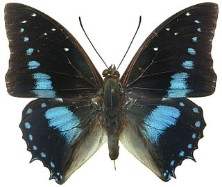 <i>Charaxes imperialis</i> Species of butterfly