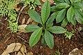 Chassalia curviflora 8328.jpg