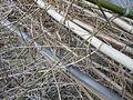 Chaume de bambou bamboo stalk VAN DEN HENDE ALAIN CC BY SA 40 02450.JPG