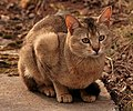 Chausie 14 (cropped).jpg