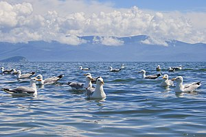 Vega gull - Adult Mongolian gulls swimming on Lake Baikal